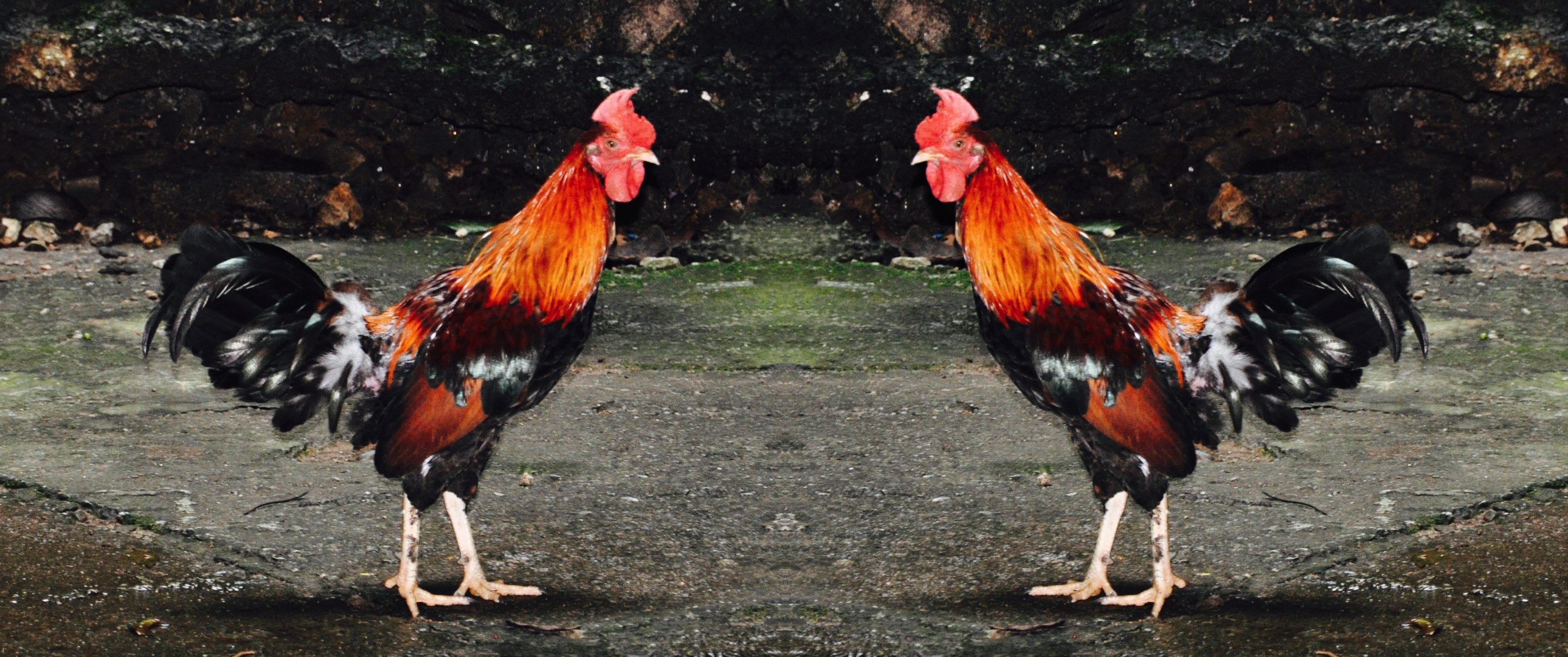 Double Roosters